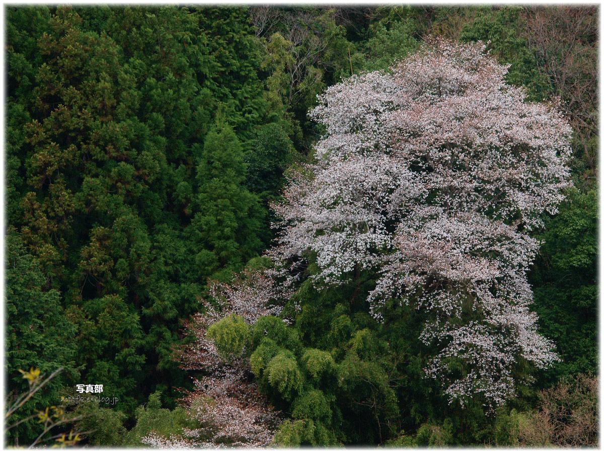 奈良 室生の里 桜 _f0021869_23444821.jpg
