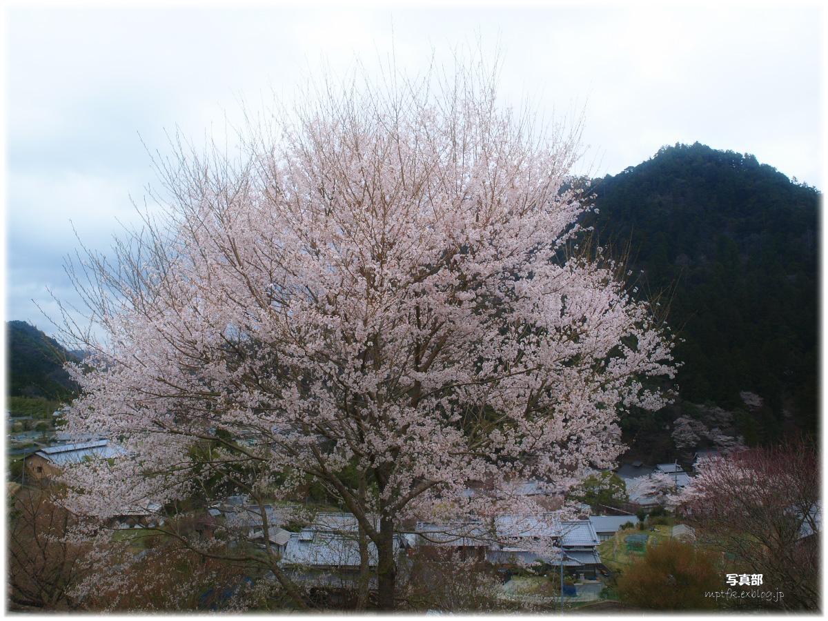 奈良 室生の里 桜_f0021869_6585028.jpg
