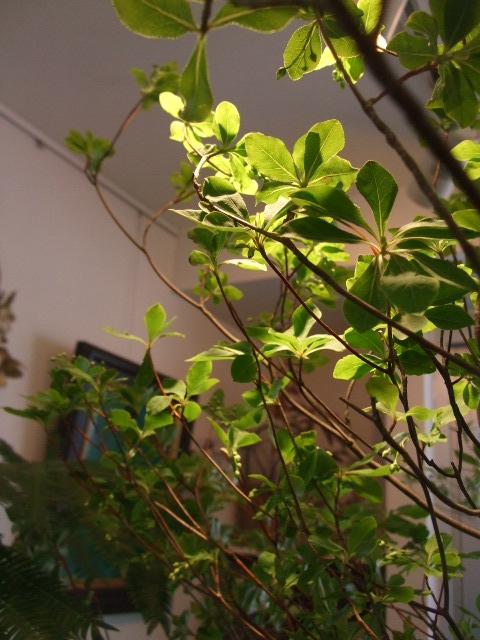 オークリーフ(白いダリアの花)_f0049672_188248.jpg
