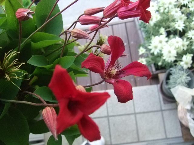オークリーフ(白いダリアの花)_f0049672_1885024.jpg
