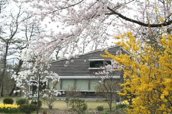 アトリエの桜が満開_e0054299_12182543.jpg