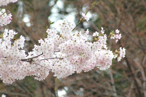 アトリエの桜が満開_e0054299_12215759.jpg