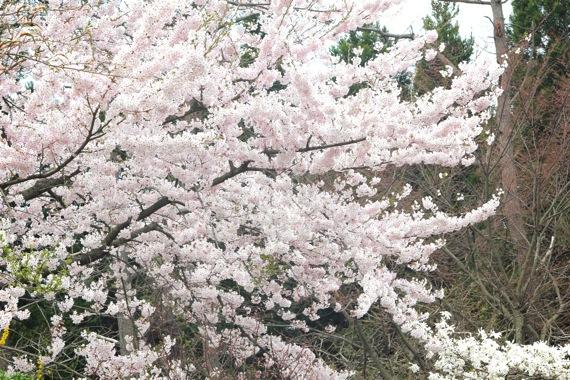 アトリエの桜が満開_e0054299_1221757.jpg