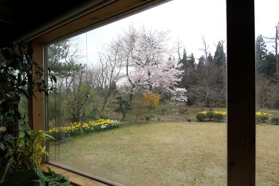 アトリエの桜が満開_e0054299_12222115.jpg
