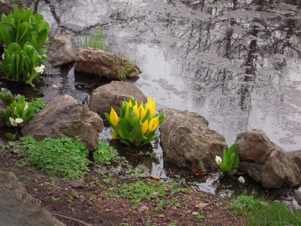 北大植物園のキバナミズバショウ_e0146210_864537.jpg