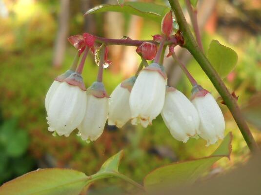 実生の花と幼果@ブルーベリー栽培_f0018078_18521327.jpg