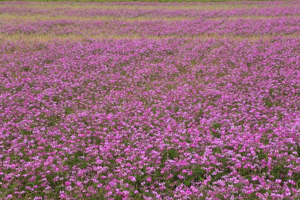 レンゲ畑にコチドリ/恋の花クロユリ_b0024798_4241154.jpg