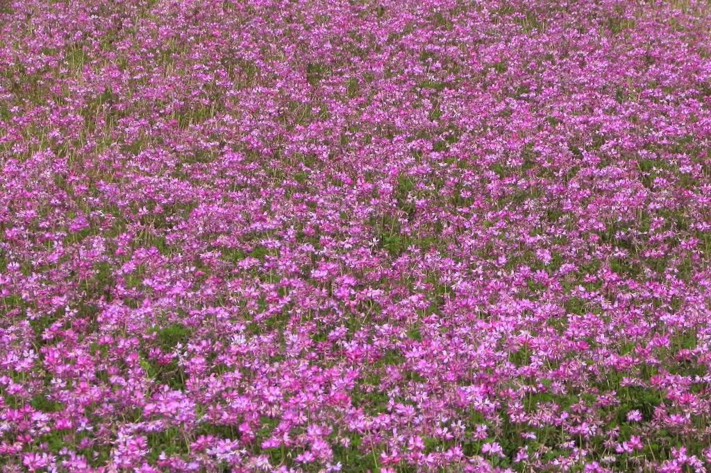 レンゲ畑にコチドリ/恋の花クロユリ_b0024798_424203.jpg