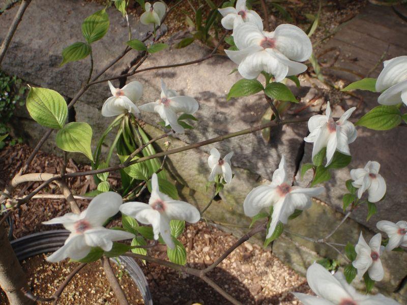 ハナミズキの花びら(総包・総苞)の謎が解けた_c0025115_2323584.jpg