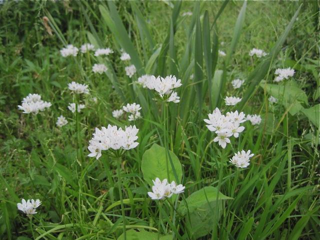 球根で、白い花が咲いて、結局名前わからずの花_f0128316_17254556.jpg