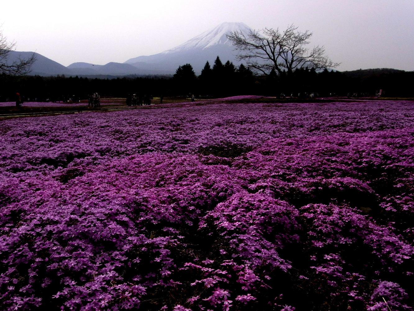 富士芝桜まつり_f0082141_17562224.jpg