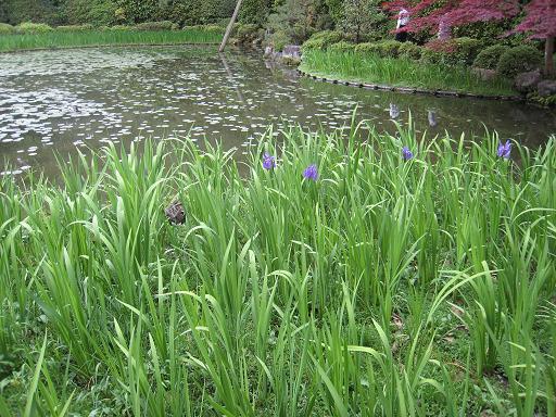 連休の京都・サツキと菖蒲のはずが、、、_f0205367_047785.jpg
