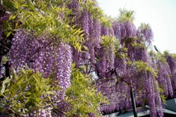 藤の花の香り_e0095468_21462788.jpg