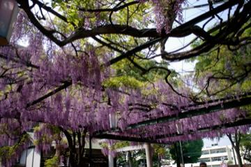 藤の花の香り_e0095468_21492313.jpg