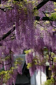 藤の花の香り_e0095468_21495765.jpg