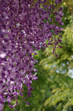 藤の花の香り_e0095468_21501863.jpg
