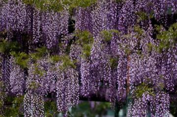 藤の花の香り_e0095468_2150517.jpg