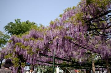 藤の花の香り_e0095468_21511371.jpg