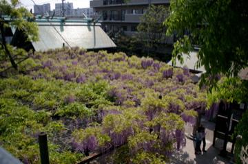 藤の花の香り_e0095468_21514418.jpg