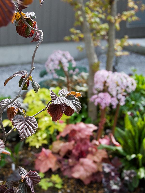 葉色冴えてキレイな季節♪ 銅葉ハシバミ レッドマジェスティック などなど_f0191870_7232035.jpg