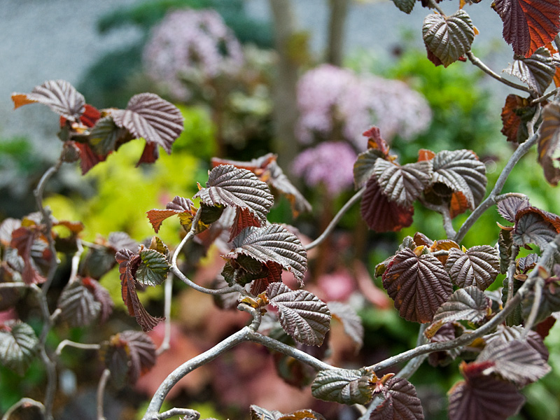葉色冴えてキレイな季節♪ 銅葉ハシバミ レッドマジェスティック などなど_f0191870_7233172.jpg