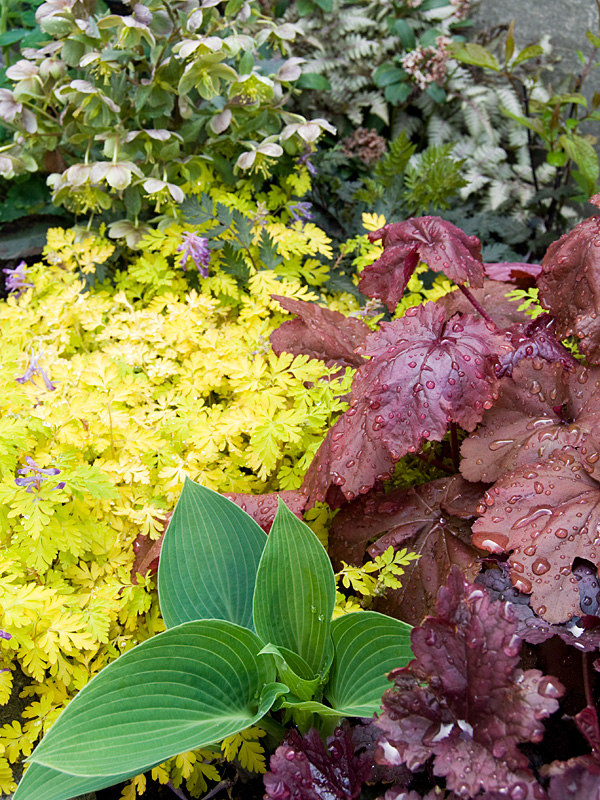 葉色冴えてキレイな季節♪ 銅葉ハシバミ レッドマジェスティック などなど_f0191870_7234482.jpg