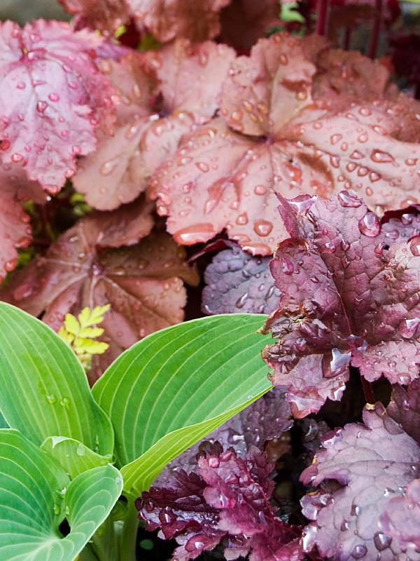 葉色冴えてキレイな季節♪ 銅葉ハシバミ レッドマジェスティック などなど_f0191870_7235419.jpg