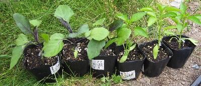 5月5日「苗の植付」_f0003283_19414760.jpg