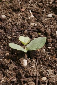 すくすく育っています♪~5月の畑_f0106597_2145945.jpg