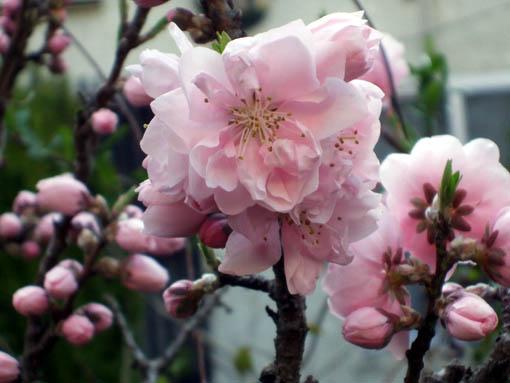 桜散り始め_f0019498_17254778.jpg