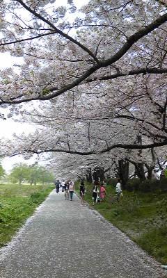 北上市展勝地の桜並木です_a0165546_9471986.jpg