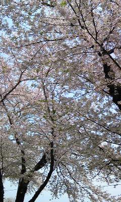 北上市展勝地の桜並木です_a0165546_9475085.jpg