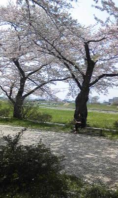 北上市展勝地の桜並木です_a0165546_948622.jpg