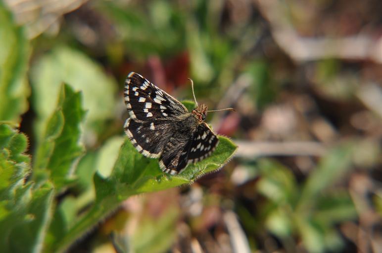 2010年想い出の蝶ランキング3位チャマダラセセリ_e0194952_1031592.jpg