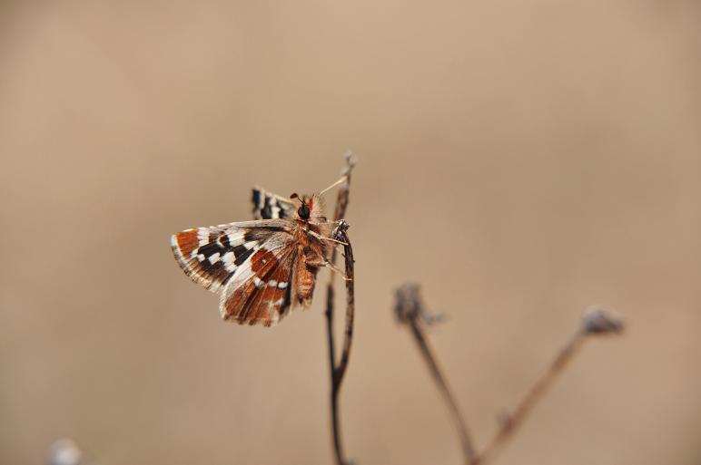 2010年想い出の蝶ランキング3位チャマダラセセリ_e0194952_8252743.jpg