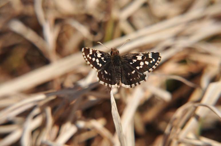 2010年想い出の蝶ランキング3位チャマダラセセリ_e0194952_951427.jpg