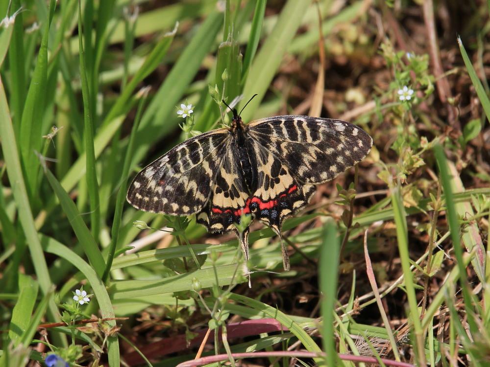 ホソオチョウ 春型は特に小さいね。  2010.4.29狭山丘陵_a0146869_6374044.jpg