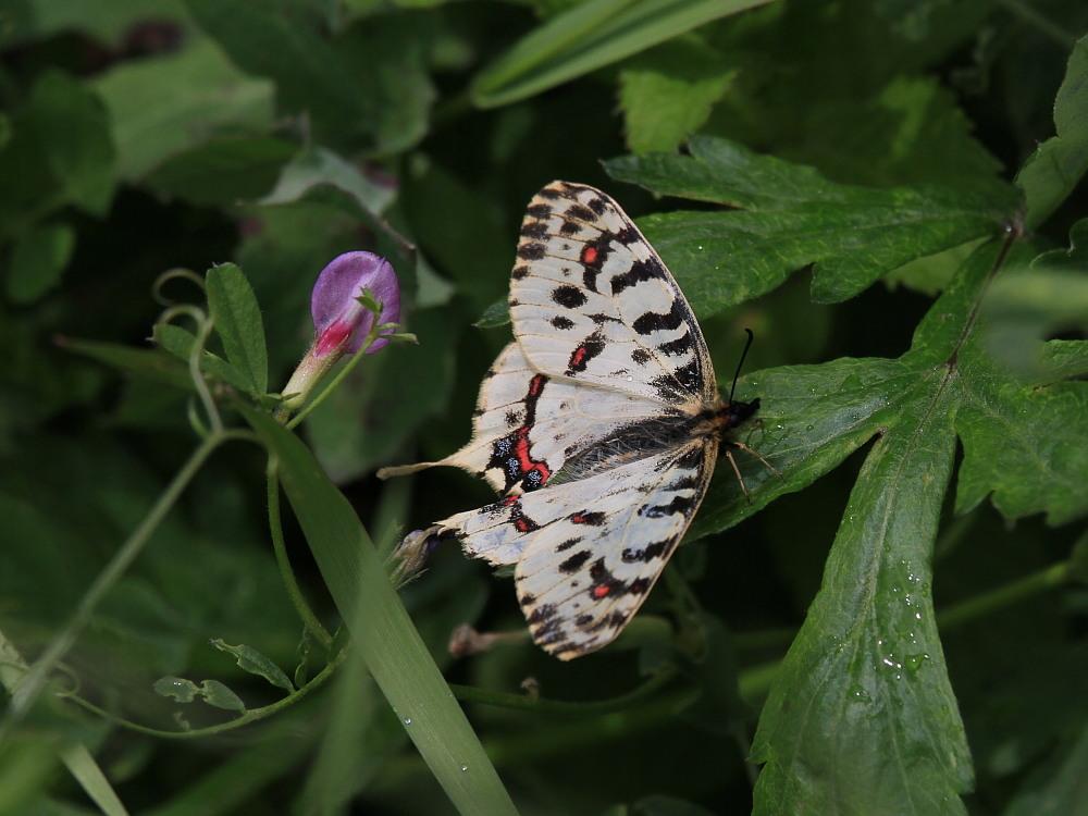 ホソオチョウ 春型は特に小さいね。  2010.4.29狭山丘陵_a0146869_63918100.jpg