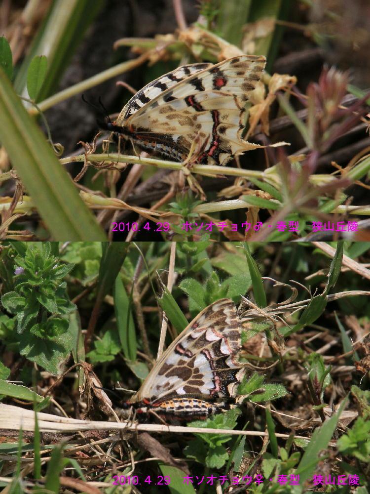 ホソオチョウ 春型は特に小さいね。  2010.4.29狭山丘陵_a0146869_640475.jpg
