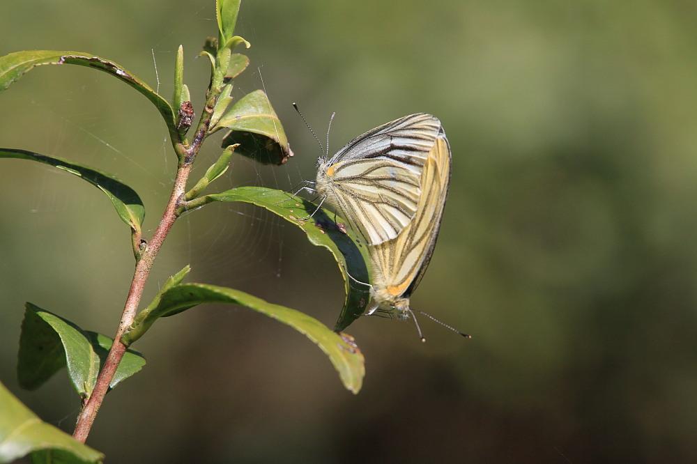 ホソオチョウ 春型は特に小さいね。  2010.4.29狭山丘陵_a0146869_6412680.jpg