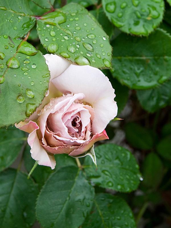 乙薔薇 2010 Pt.1 フランシス デュブリュイ_f0191870_1804484.jpg