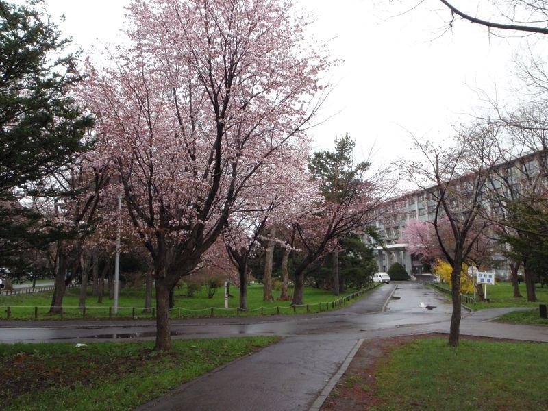 寒さの中でサクラが咲き進む札幌_c0025115_23222234.jpg
