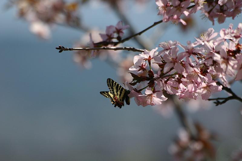 2010年5月上旬 GW白馬行その② 花とヒメギフチョウ_d0054625_21524713.jpg