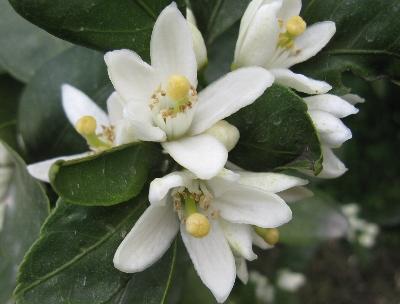 5月8日「柿の花」_f0003283_1213038.jpg