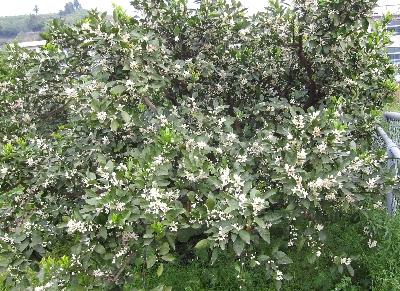 5月8日「柿の花」_f0003283_1214954.jpg