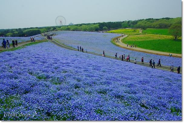 ブルーの絨毯♪ ネモフィラのお花畑_f0179404_8442579.jpg