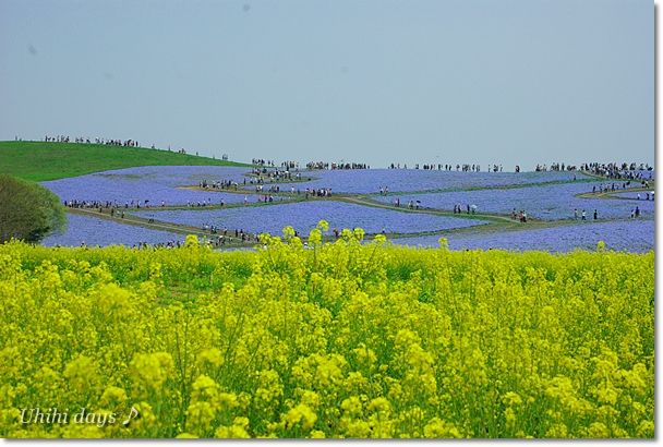 ブルーの絨毯♪ ネモフィラのお花畑_f0179404_8452818.jpg