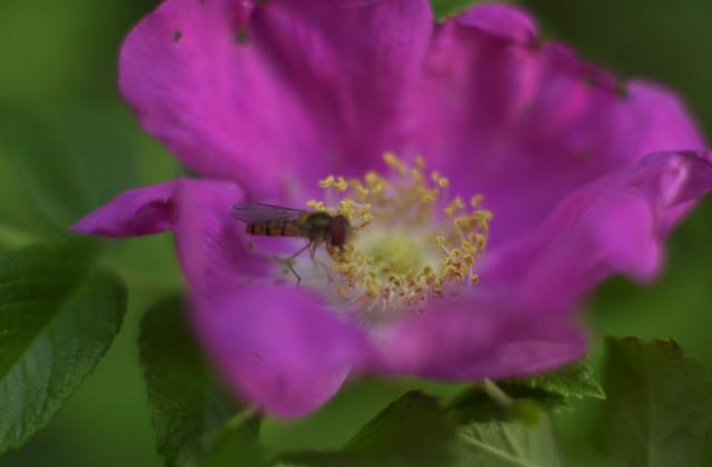 はまなす、ミツバチ、すずらん_f0192307_2063017.jpg
