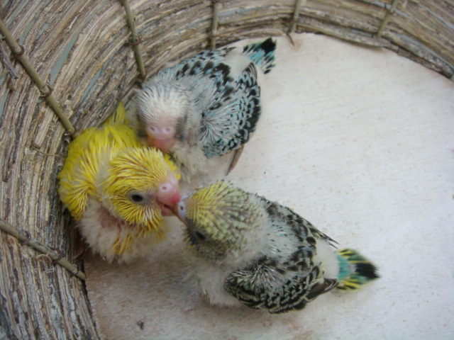 文鳥・インコ_f0189122_1639774.jpg