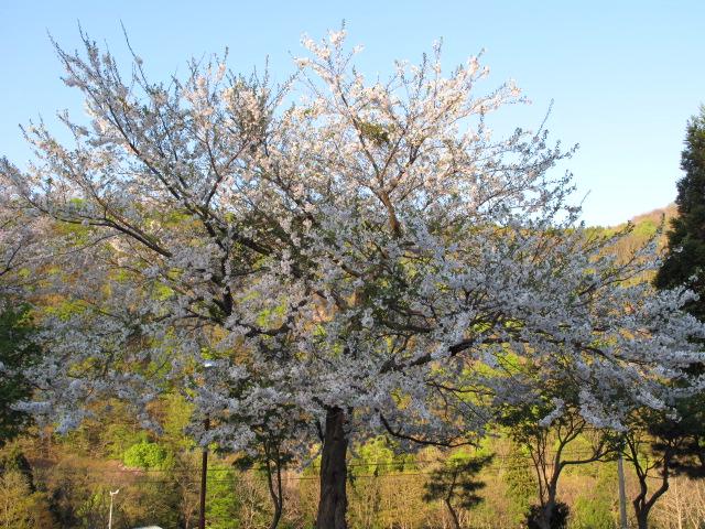 桜が咲いた_f0192924_21484351.jpg
